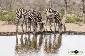the darker side of the zebra sabi sabi private game reserve blog