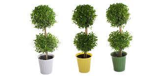 Outdoor Topiary Trees Wholesale - eugenia topiary costa farms