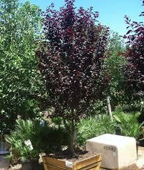 purple leaf plum 230