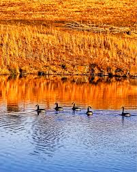 flock of black ducks free image peakpx