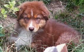 double j australian shepherds australian shepherd puppies breed information u0026 puppies for sale