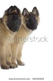 belgian shepherd breeders south africa belgian shepherd tervuren stock images royalty free images