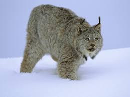 canadian lynx wallpaper big cats animals 21 wallpapers u2013 hd