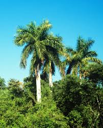 types of palm trees royal palm native to florida in it u0027s native