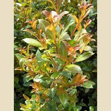Eugenia Topiary Eugenia Myrtifolia Syzygium Column Forms We Grow Boething