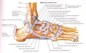 Anterior Distal Tibiofibular Ligament 14 U2013 Ankle Sprains Paine Podcast And Medical Blog