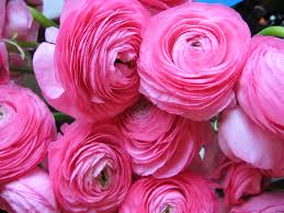 ranunculus flower flowers ranunculus flowers