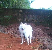 american eskimo dog price in kolkata indian spitz wikipedia