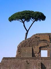 free rome tree images pictures and royalty free stock photos
