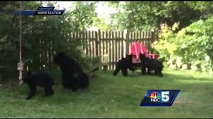 new hampshire woman finds 4 bears playing in backyard