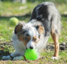 8 month australian shepherd puppy uglies