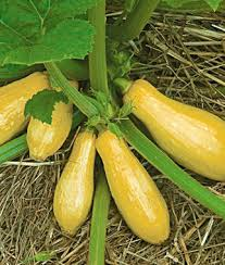 Squash Plant Diseases Pictures - early prolific straightneck summer squash seeds and plants