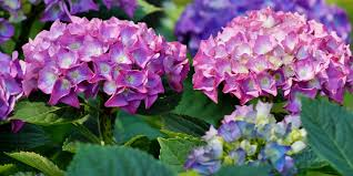 flower hydrangea history and meaning of hydrangeas proflowers