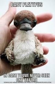 Platypus Meme - 25 best memes about baby platypus baby platypus memes