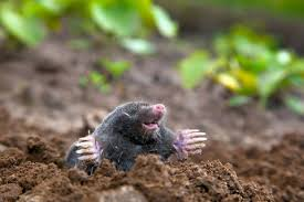 How To Get Rid Of Moles In The Backyard by Get Rid Of Moles