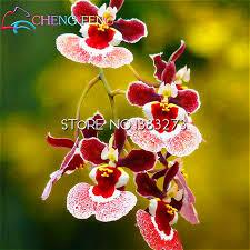 oncidium orchid online get cheap orchid oncidium aliexpress alibaba