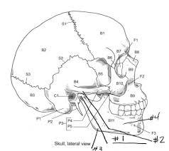 axial skeleton worksheet anatomy