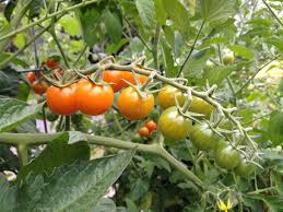 stop watering those tomatoes togetherfarm