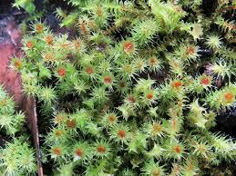 Breutelia Triquetrella Local Moss From Central Victoria