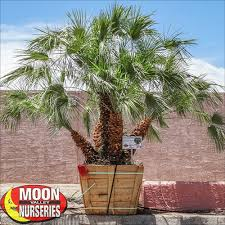mediterranean fan palm tree mediterranean fan palm dwarf palms moon valley nursery