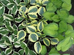 images of plants perennials plants johnson u0027s garden centers