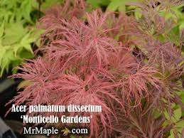 buy acer palmatum dissectum monticello gardens japanese