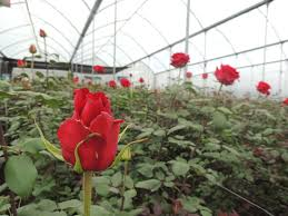 wholesale flowers miami wholesale flowers and roses miami about us production of roses