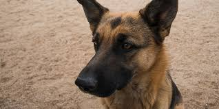 belgian sheepdog south africa german shepherds are dying of painful conditions caused by