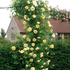 garden design are roses difficult to maintain