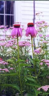 australian native plants with purple flowers best 25 tall purple flowers ideas on pinterest verbena drought