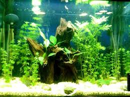 Tropical Aquatic Plants - tropical fish tanks page 8
