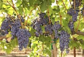 Planting Grapes In Backyard Should You Trim New Growth On Grapevines During The Growing Season