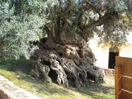 olive tree of vouves the s 10 oldest living trees mnn
