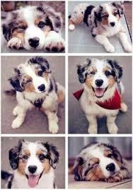 australian shepherd iq dogs best dogs and best dog breeds on pinterest