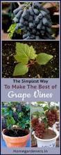 best 25 grape plant ideas on pinterest growing grape vines