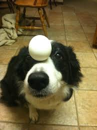 Border Collie Meme - zelda the border collie balancing things on her head 13 pics