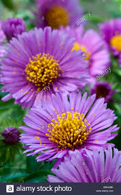 aster september rubin autumn fall flower perennial pink garden