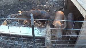 hobby farm update pigs chickens rabbits garden sneak peak at