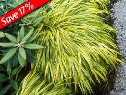 the 25 best ornamental grasses for shade ideas on