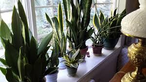 Plants For Living Room Easy Care Plants For A West Window Gardendaze