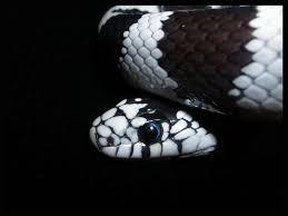 black king wallpaper king snake pics wallpaper