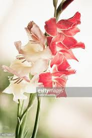 gladiolus flower gladiolus stock photos and pictures getty images