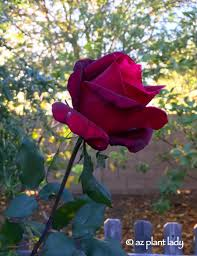 a single mister lincoln rose brightens up a winter u0027s day