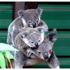 426 koala images koalas koala bears baby