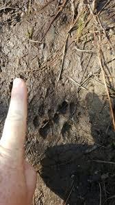 más de 25 ideas increíbles sobre bobcat tracks en pinterest