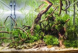 Aquascape Tree New Aquascape In Aquavas Tank Guitarfish