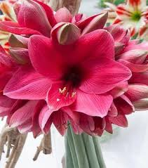 Amaryllis Flowers Amaryllis Bulbs Flowering Bulbs Christmas Flower Bulbs