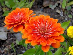 zinnia flowers orange zinnia flowers picture free photograph photos domain