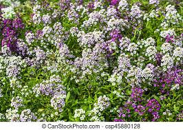 alyssum flowers sweet alyssum flowers in garden stock photo search pictures and