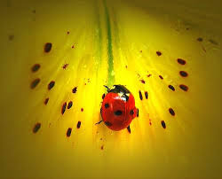 How To Find Ladybugs In Your Backyard How To Start A Ladybug Garden How Did I Do It